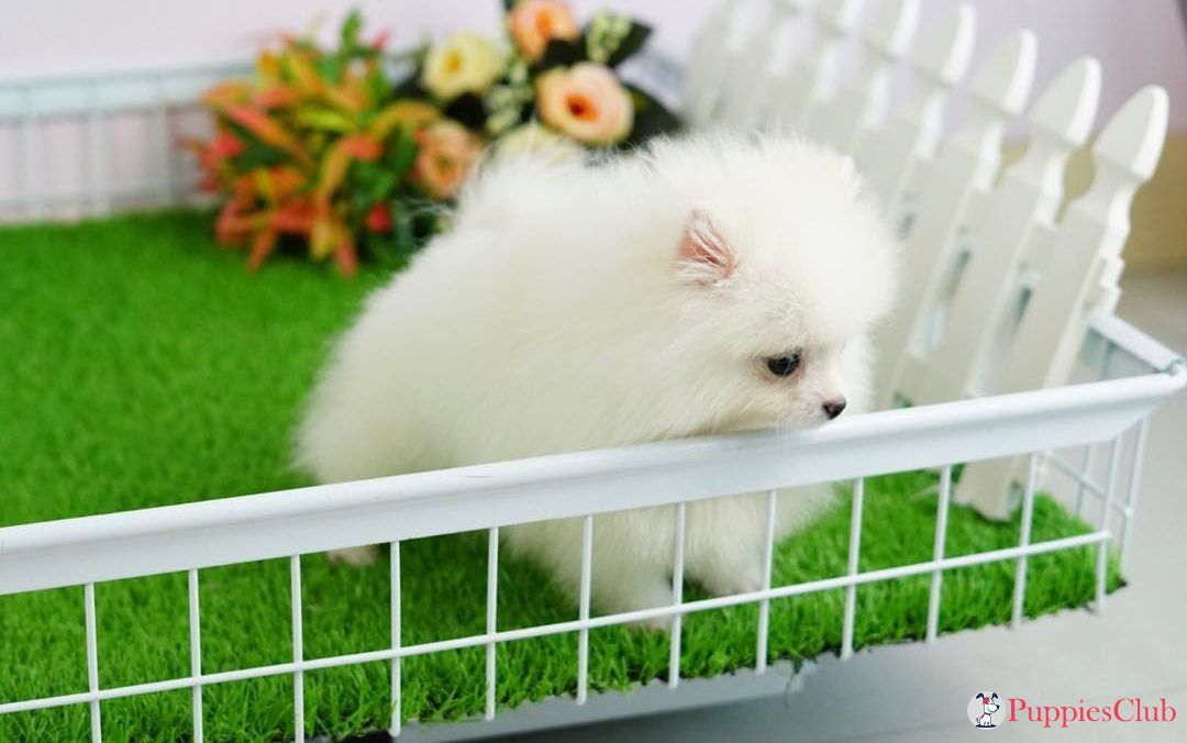 Teacup Pomeranian Puppies #teacuppomeranianpuppy