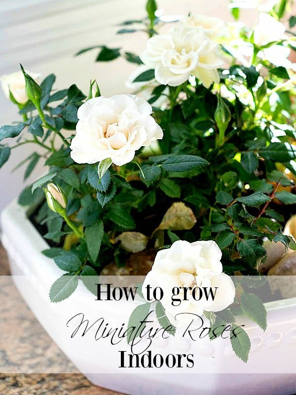 Care For Miniature Rose Plants Indoors