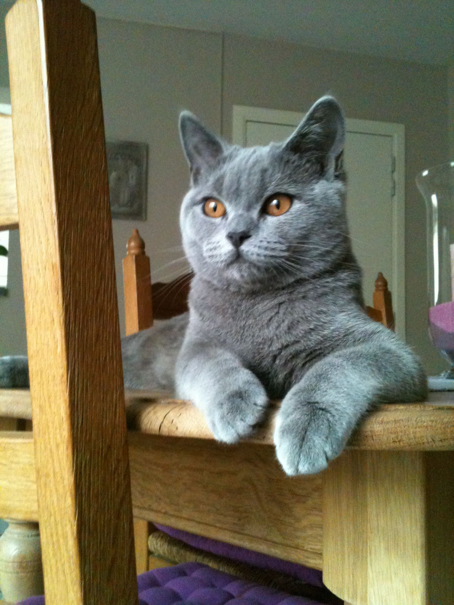 Simba British Shorthair Blue 3 Years Old Male Persian Cat British Shorthair Cats I Love Cats