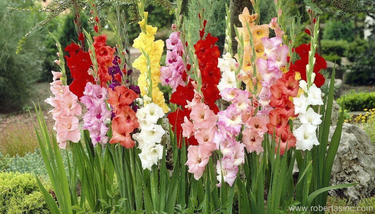 Winter Hardy Sub Zero Gladiolus Mix Gladiolus Hardy Perennials Planting Bulbs