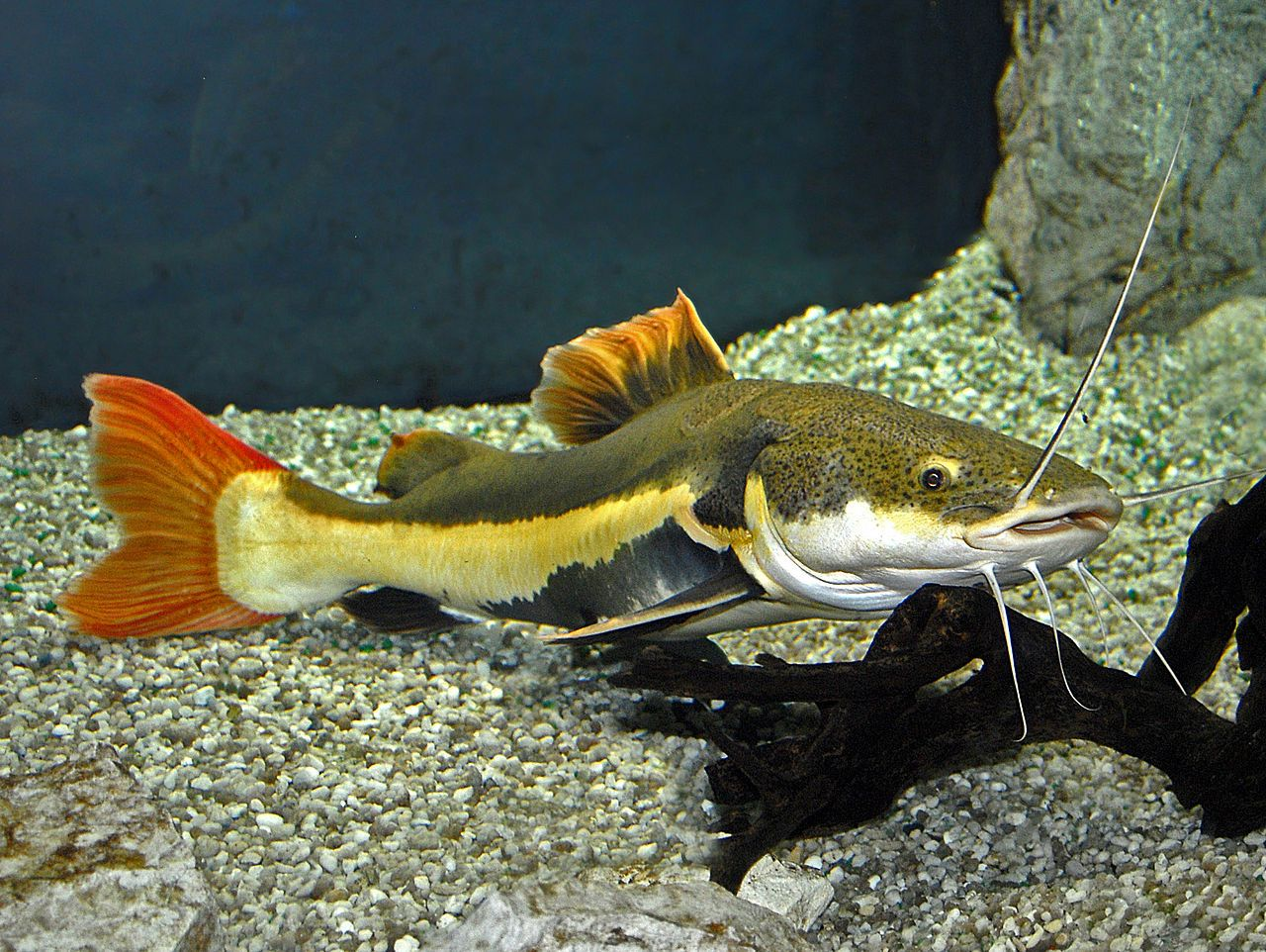 Phractocephalus hemioliopterus red tail catfish south for Fish tank catfish