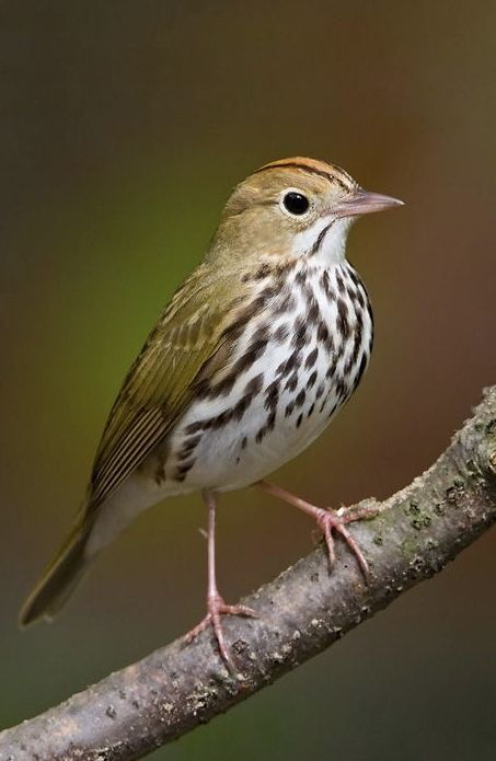 Ovenbird is a Warbler from Eastern United States in 2020 ...