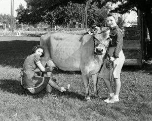 historic photo cow