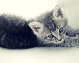 Grau Wallpaper Katzchen Mit Blauen Augen Katze Bezaubernde Katzchen Susseste Haustiere Graue Katzen