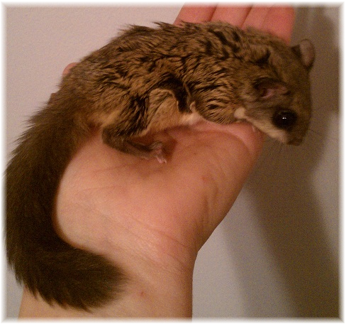 Flying Squirrels For Sale Baby Flying Squirrels Flying Squirrel Baby Flying Squirrel Squirrel