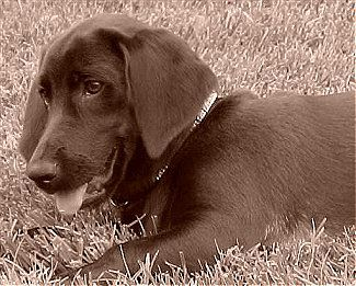 Penny The Labrador Basset Hound Beagle Mix With Images Dog