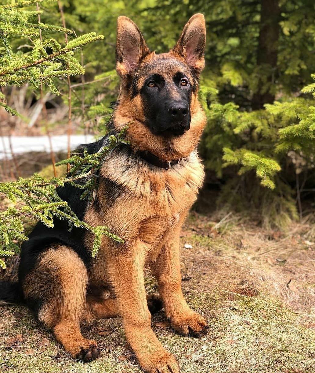 """German Shepherd on Instagram: """"❤️❤️❤️ @germanshepherd.akilles ----------------- #germanshepherds #gsdmalinoislove #forevergermansheps #gsdofig #schäfer…"""""""