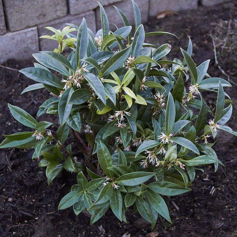 Sarcococca hookeriana 'Humilis' Sarcocoque nain parfumé