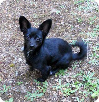 Kitsap County Wa Dachshund Pomeranian Mix Meet Ceecee A Dog