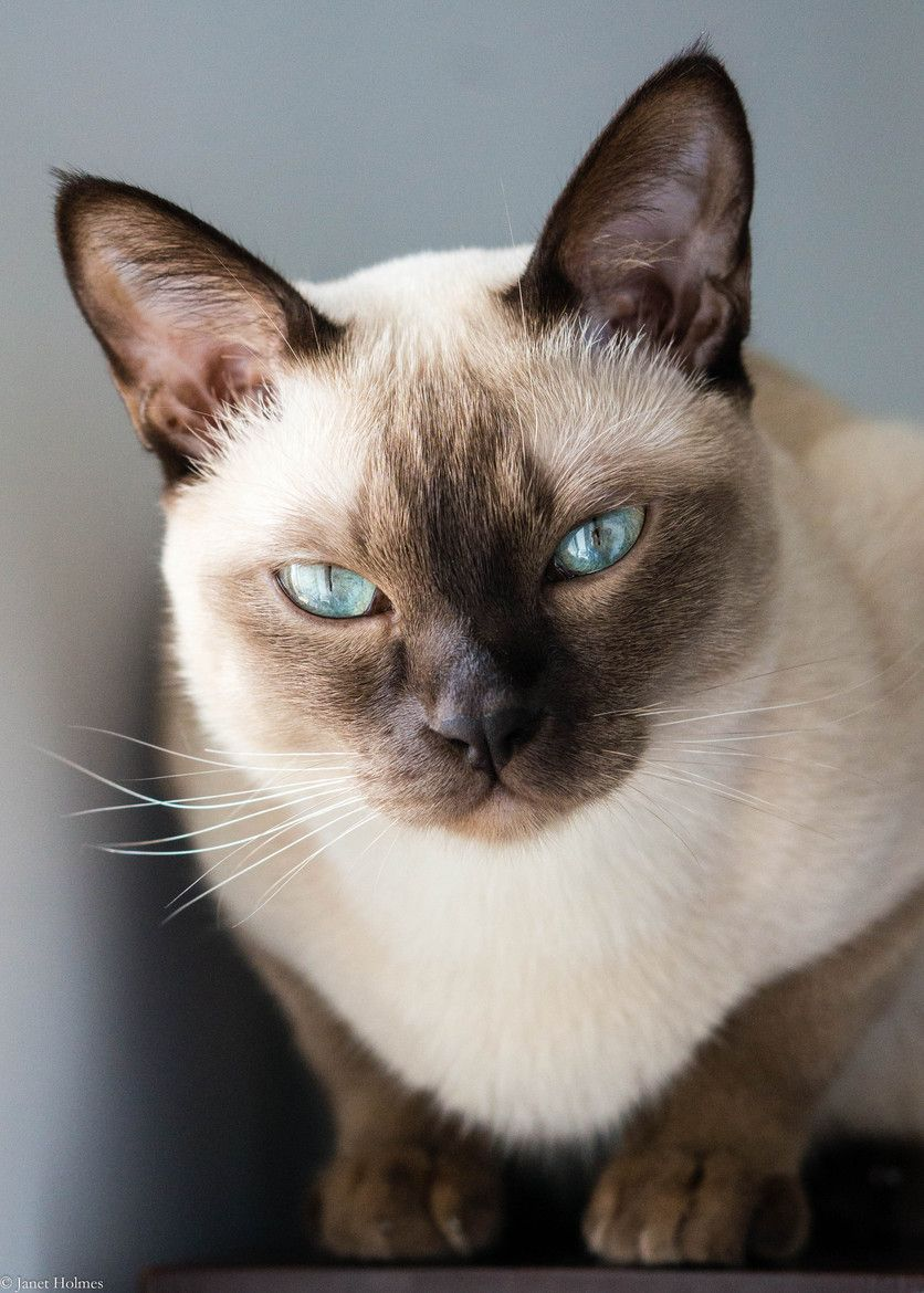 Pin By Kitty In Ny On Siamese Oriental Short Hair Cats