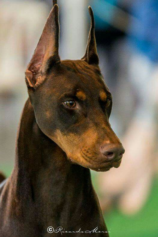 Beautiful Dogs Image By Joslyn P On Doberman Beautiful Dog
