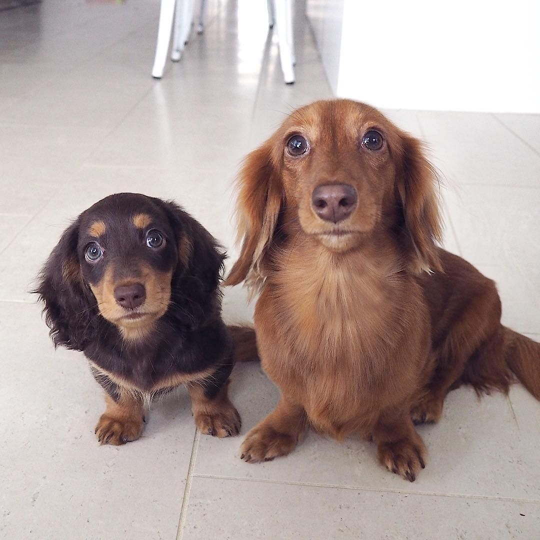 Hi We Re Ruby Doug We Re Miniature Longhaired Dachshunds