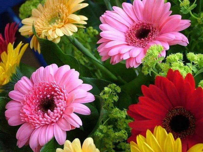 Pin By Irina Khavryuchenko On Kviti Gerbera Daisy Seeds Bonsai Flower Flower Seeds