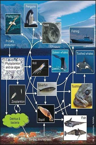 Diagram of the the food web in the Ross Sea.