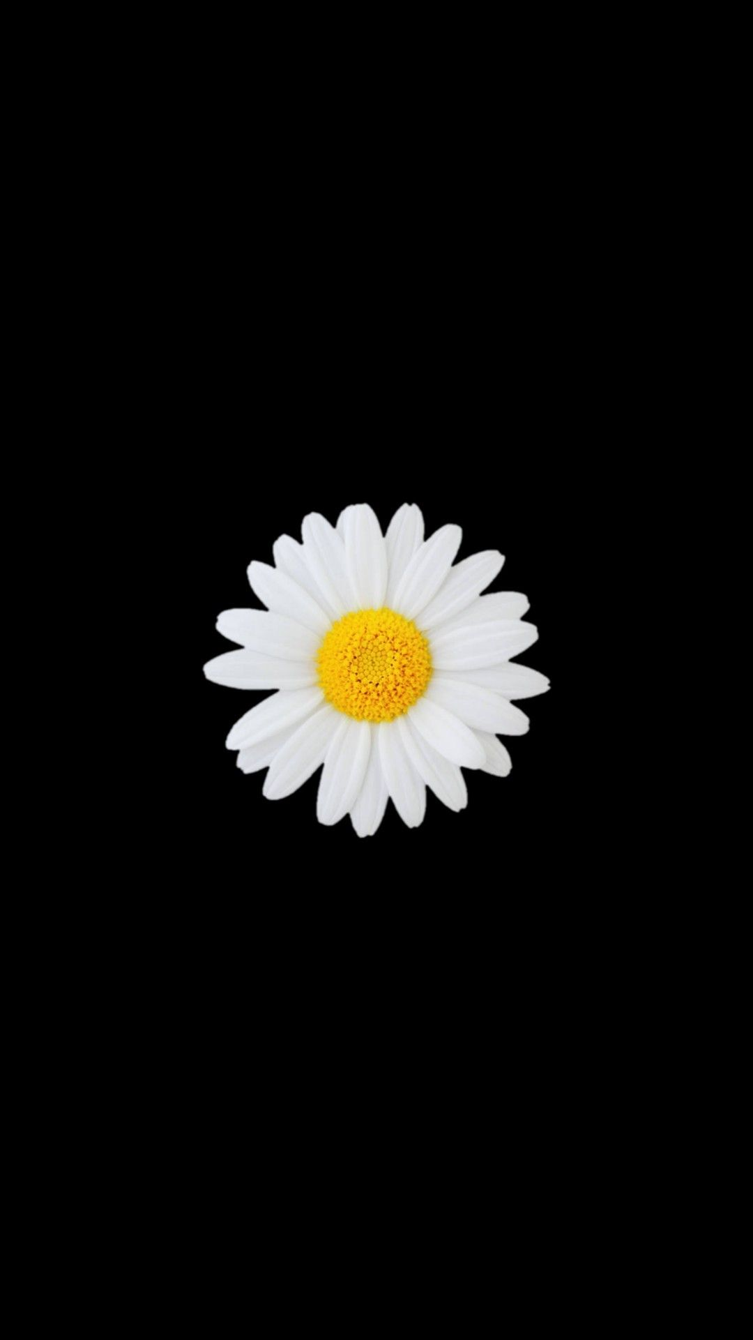 Daisy Wallpaper Wallpaper Kupu Kupu Latar Belakang Bunga Daisy