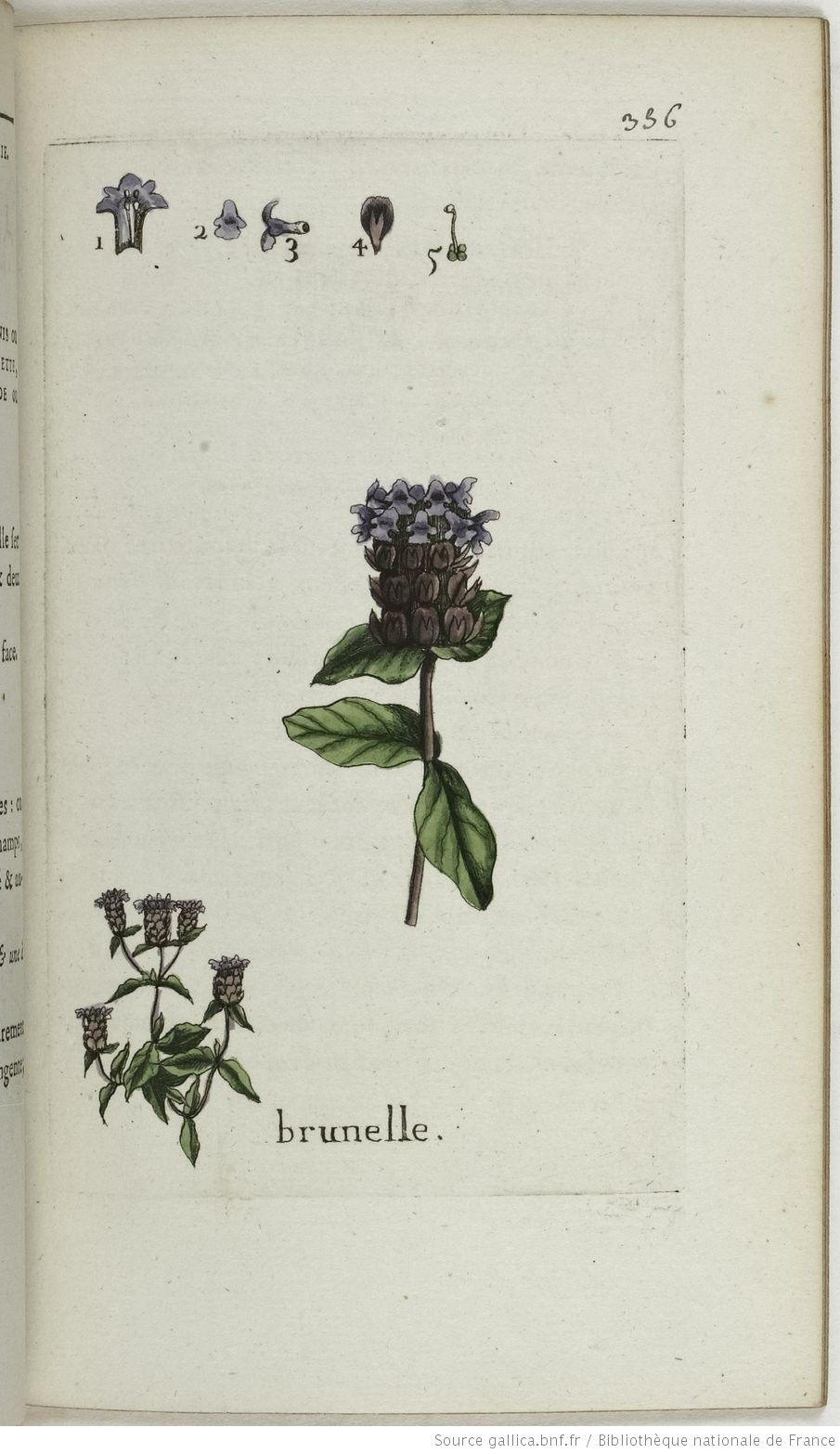 BRUNELLA - Brunella vulgaris. La brunelle / La brunette / Le brunis ou brunion / La prunelle / La bonnette / La fausse ou petite consoude ou consire