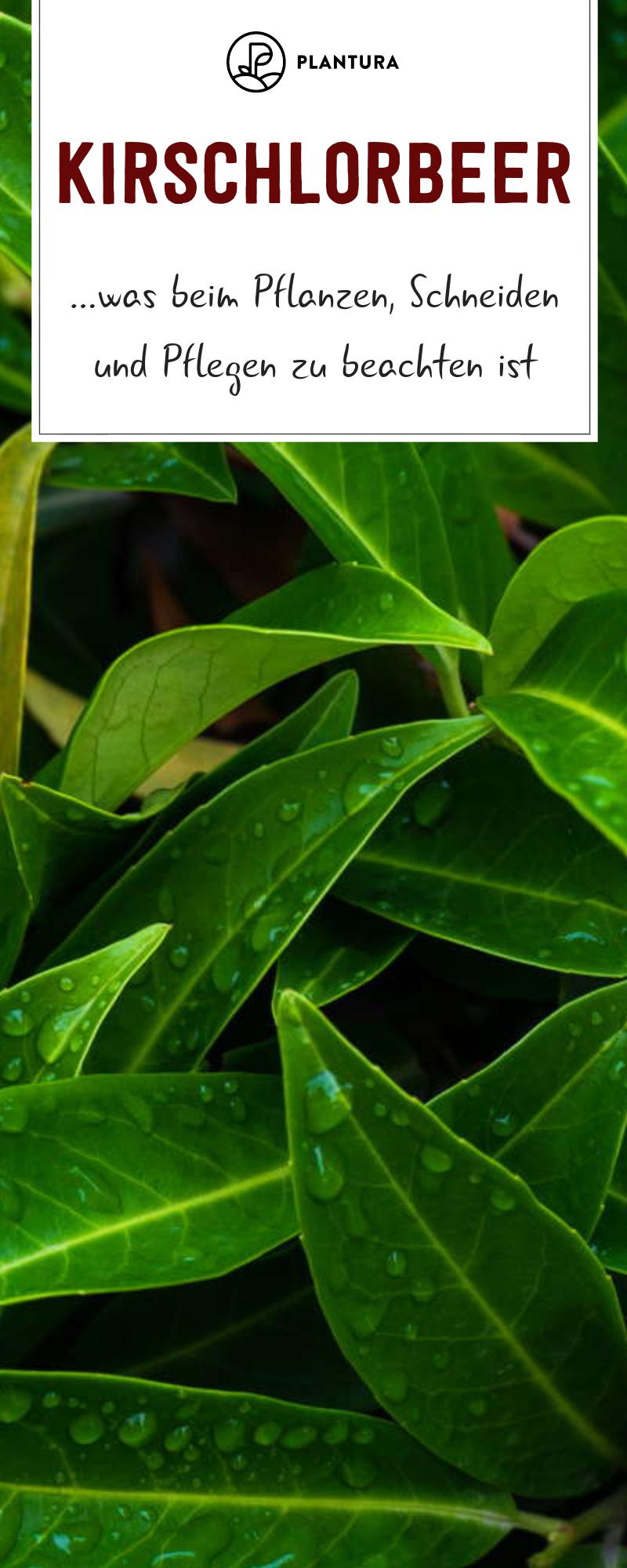 Kirschlorbeer: Experten-Tipps zum Pflanzen, Schneiden & Pflegen - Plantura #orchideenschneiden