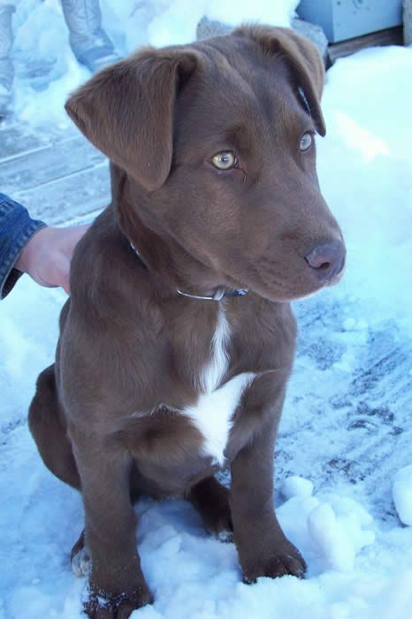 Chocolate Lab Mix Almost Perfectly What Mocha Would Look Like As