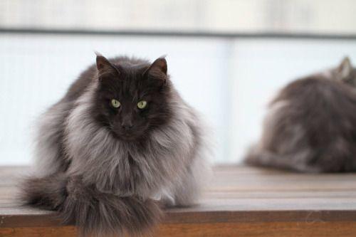 Black Smoke In 2020 Norwegian Forest Cat Black Smoke Cat Black Smoke