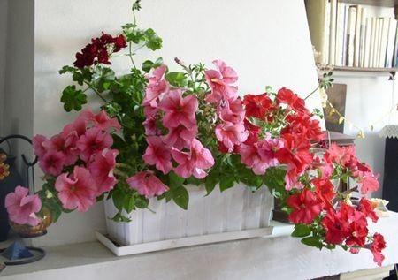 Attractive Vaso Petunia