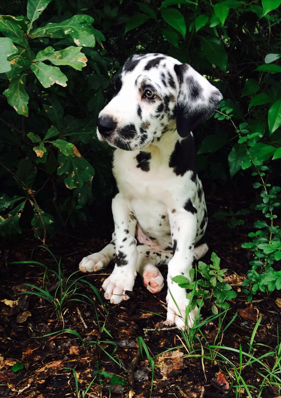 Great Dane Dog Breed Information Great Danes Dane Puppies