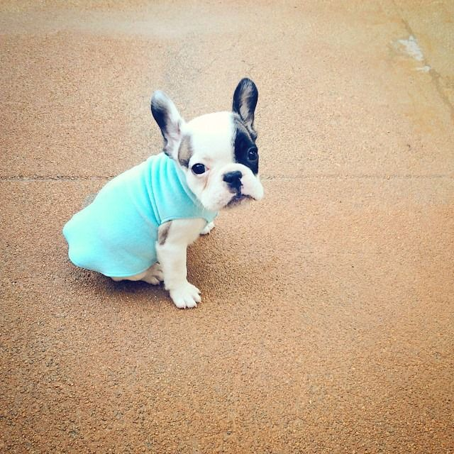 Tiny Frenchie Puppy In Vest French Bulldog Puppies Frenchie Puppy