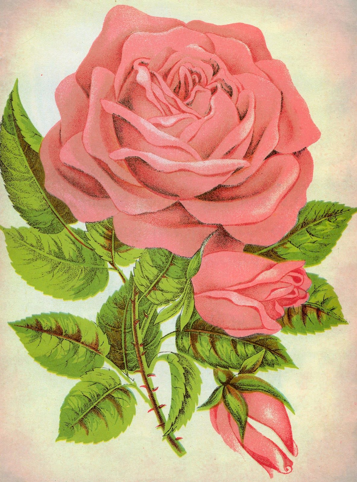 Antique Images Free Rose Graphic Botanical Illustration Of Pink