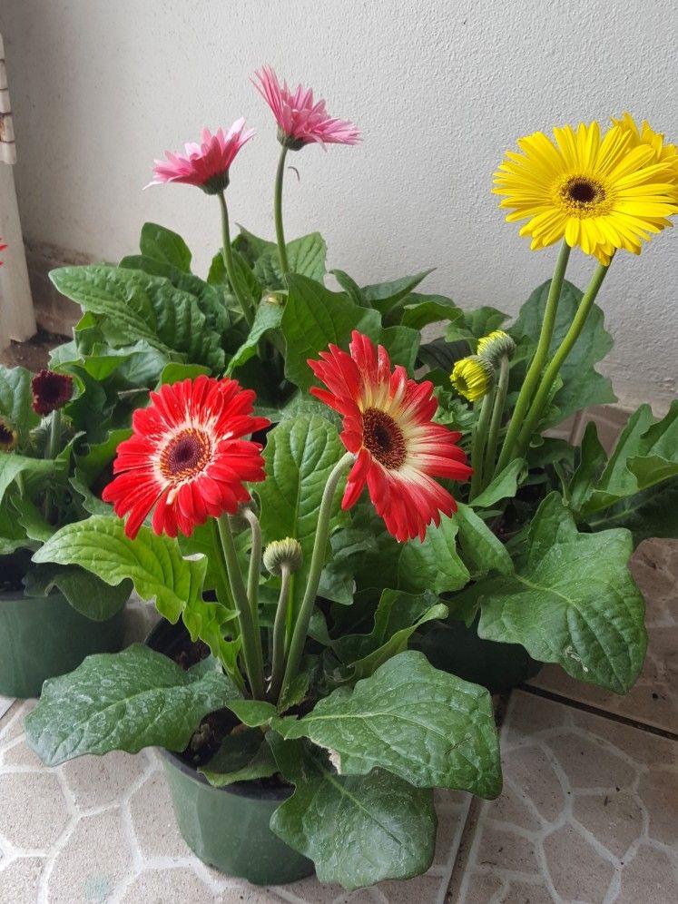 The Complete Gerbera Daisy Care Guide Ftd Com In 2020 Gerbera Daisy Care Gerbera Plant Gerbera Daisy
