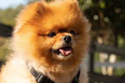 Teacup Pomeranian Puppies For Sale In Alabama Al Teacup Toy Miniature Micro Mini And Stand In 2020 Teacup Puppies Pomeranian Puppy Teacup Teacup Puppies For Sale
