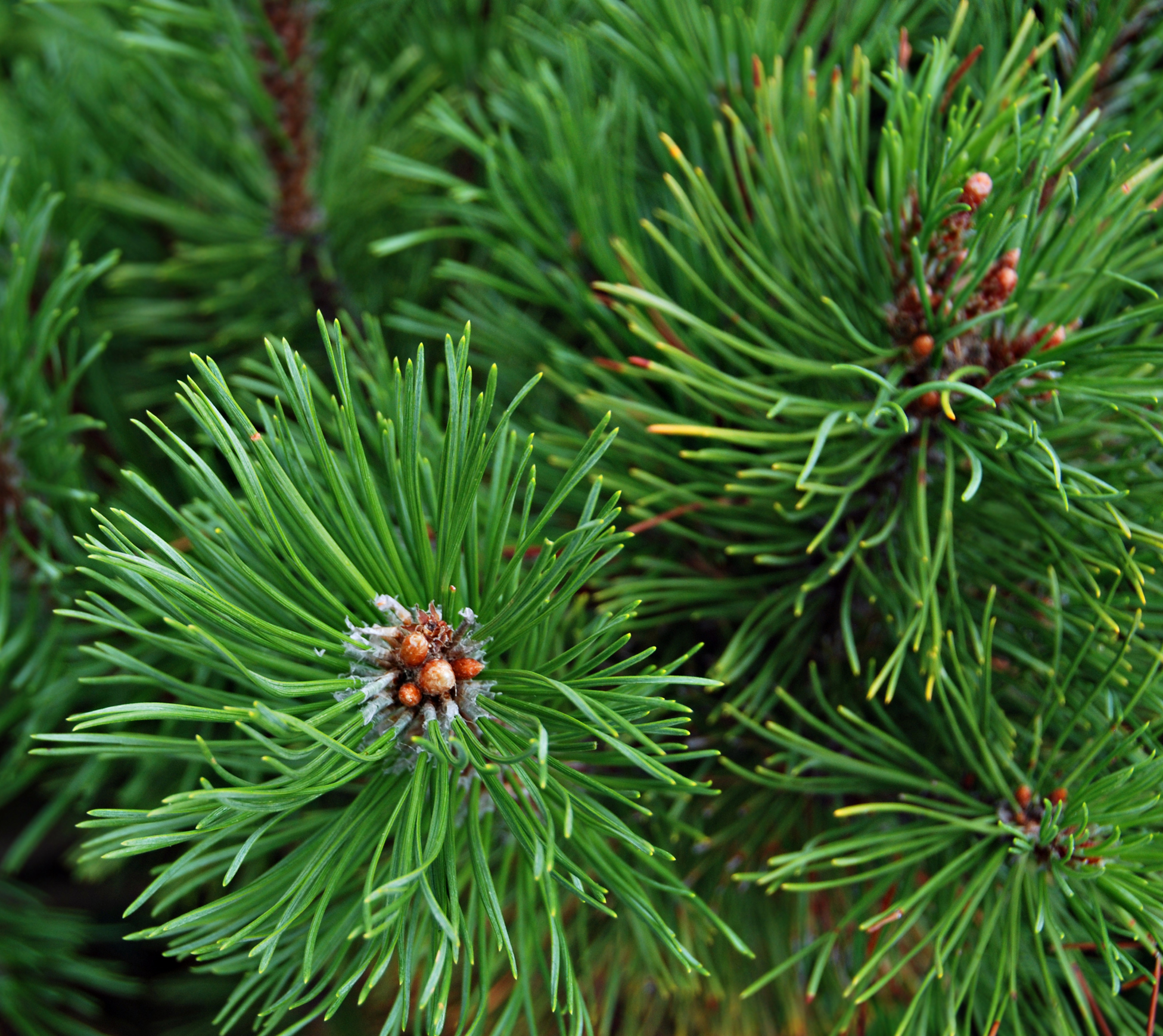 Siberian Fir Co2 Extract Extracted From The Needles Of The