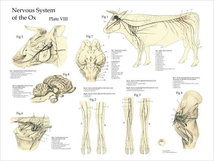 Cow Nerve Anatomy Poster Anatomy Pinterest Nerve Anatomy