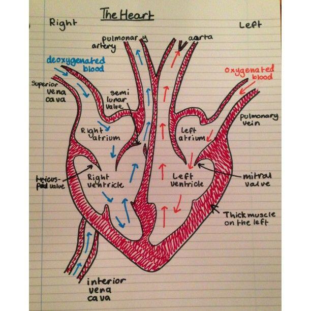 Photo By Chloesolomon Nursing 101 Pinterest School Anatomy