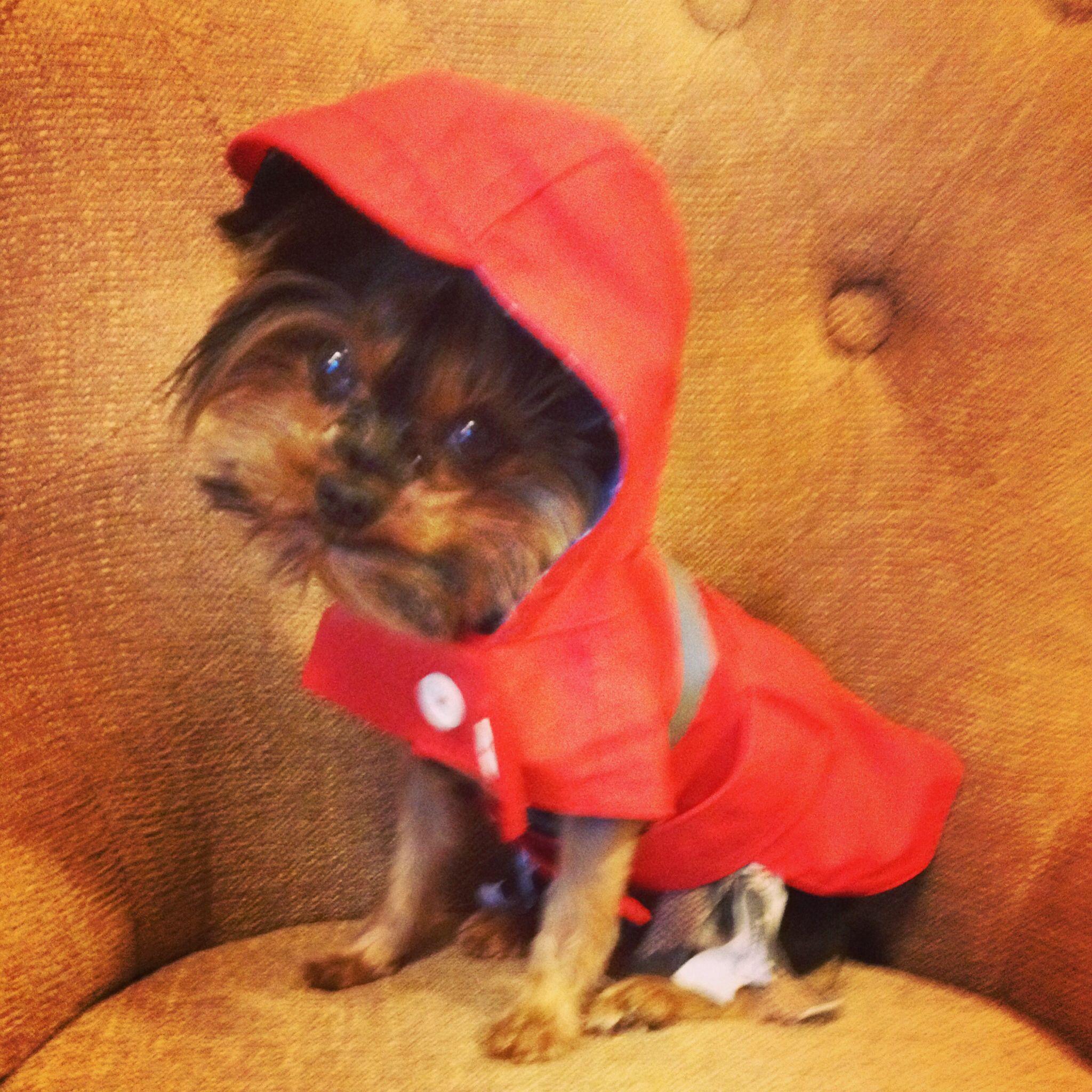 Raincoat Weather For Miss Gabby My Precious Teacup Yorkie