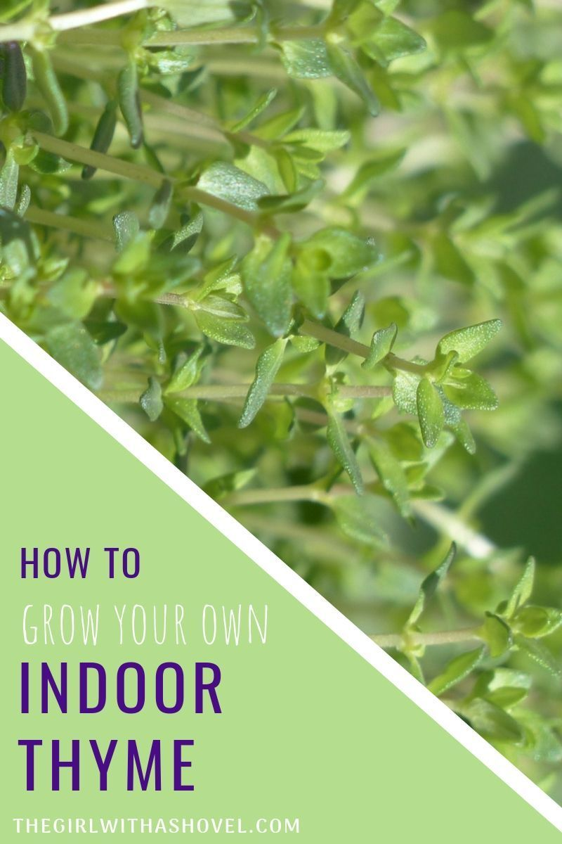 Indoor Thyme Plant Care is part of Thyme plant, Herbs indoors, Plant care, Plants, Indoor plant care, Indoor herb garden - Indoor Thyme Plant Care Thyme is a wonderful plant to add to your herb garden! It is generally easy to grow, but these plant care tips will help your indoor thyme stay healthy and happy, giving you years of harvesting this tasty herb! Don't have a thyme plant yet  You can buy one