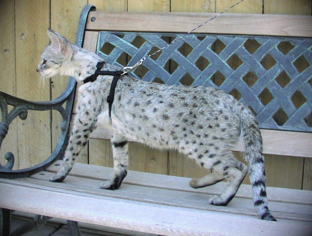 Savannah Cat Savannah Cats Full Grown Info Savannah Cat