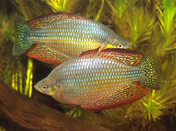 M splendida inornata flat rock creek splendid indeed for Rainbow fish species