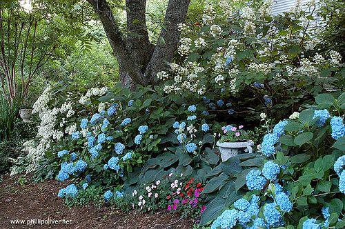 hydrangea border looking towards the secret garden