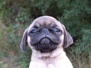 Adopt Nathan On Pugs For Sale Pug Puppies Dogs