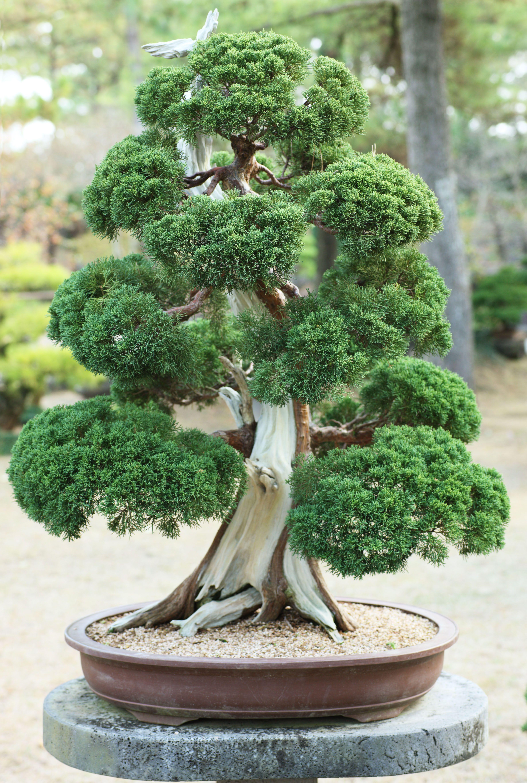 korean bonsai bonsai et. Black Bedroom Furniture Sets. Home Design Ideas