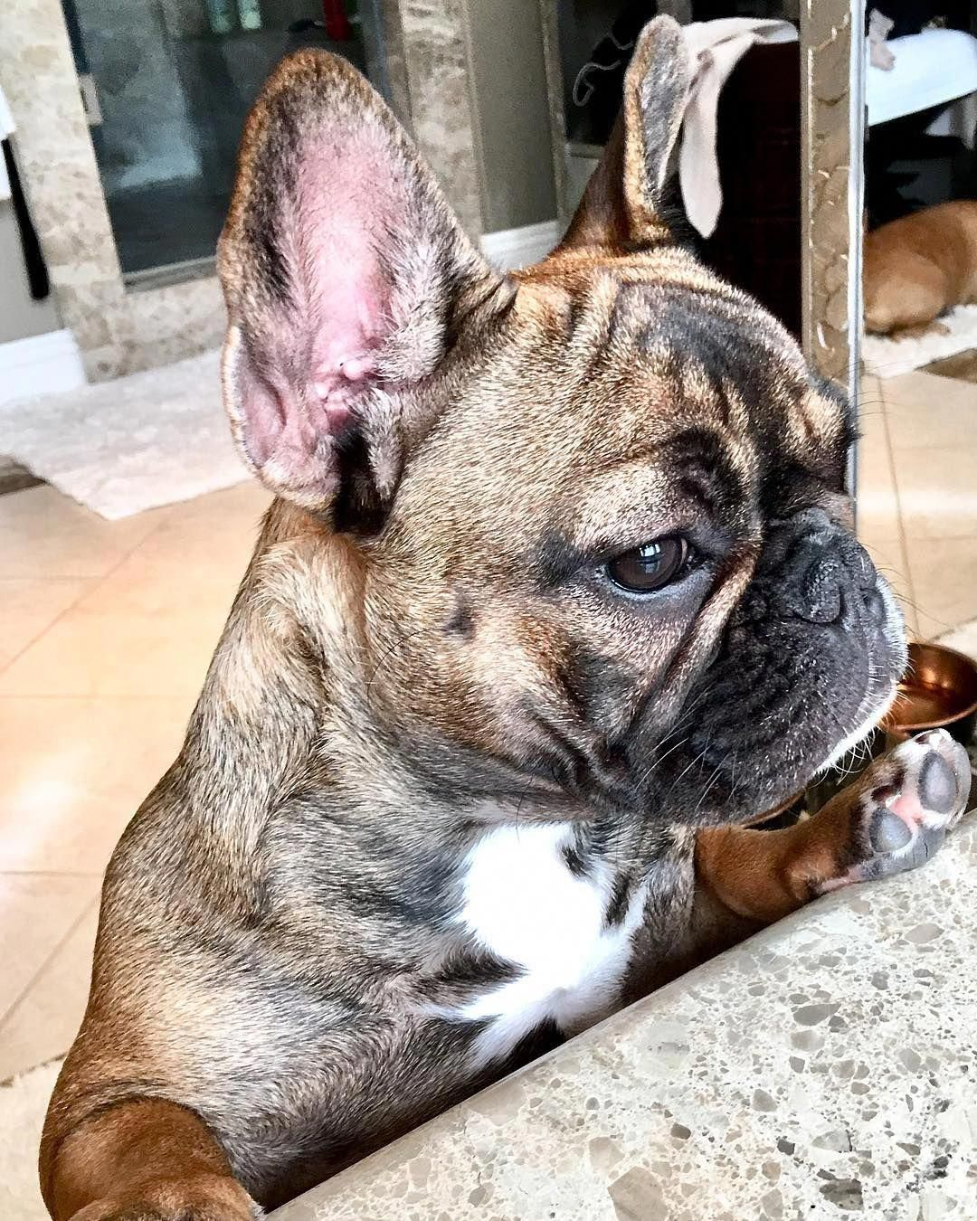 Everything About The Smart Frenchie Pups And Kids