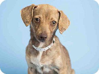Phoenix Az Chihuahua Meet Kinzi A Dog For Adoption Chihuahua Dog Adoption Pets