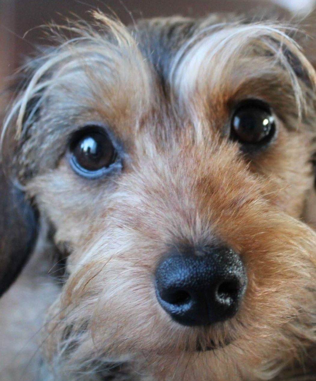 Wirehaired Dachshund. Wire haired dachshund, Wirehaired