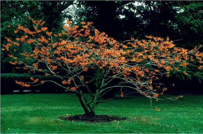 Jelena Witch Hazel Featured Plant Of The Day Plants Garden