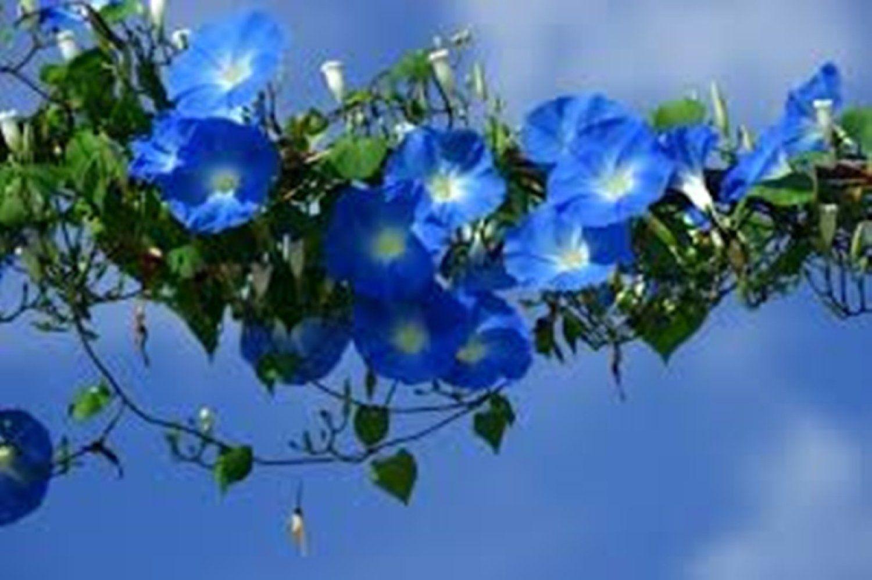 FOR POOL SHED Amazon com : Seeds Blue Morning Glory Golubaya