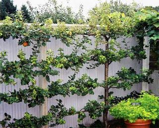 Espalier Fruit Trees Along Fence