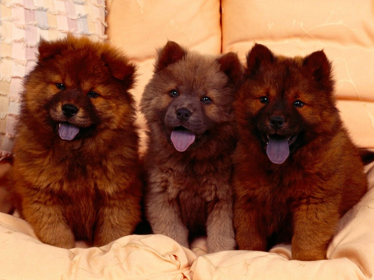 Red Brown Chow Chow Puppies With Cute Smile Chiot Chowchow