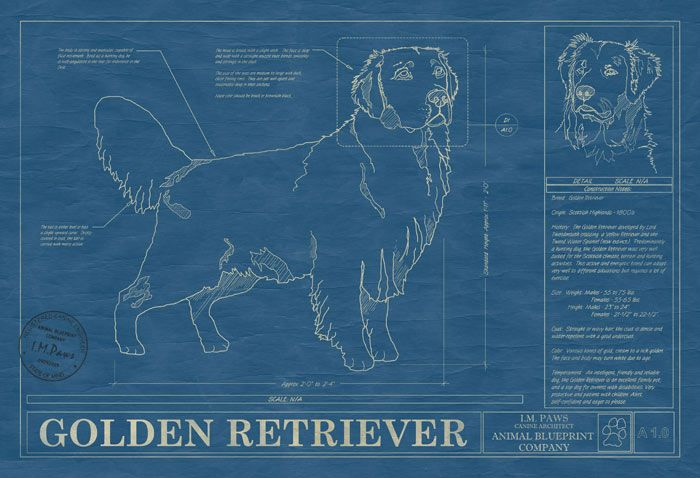Golden Retriever Pictures And Prints Doberman Pinscher Doberman