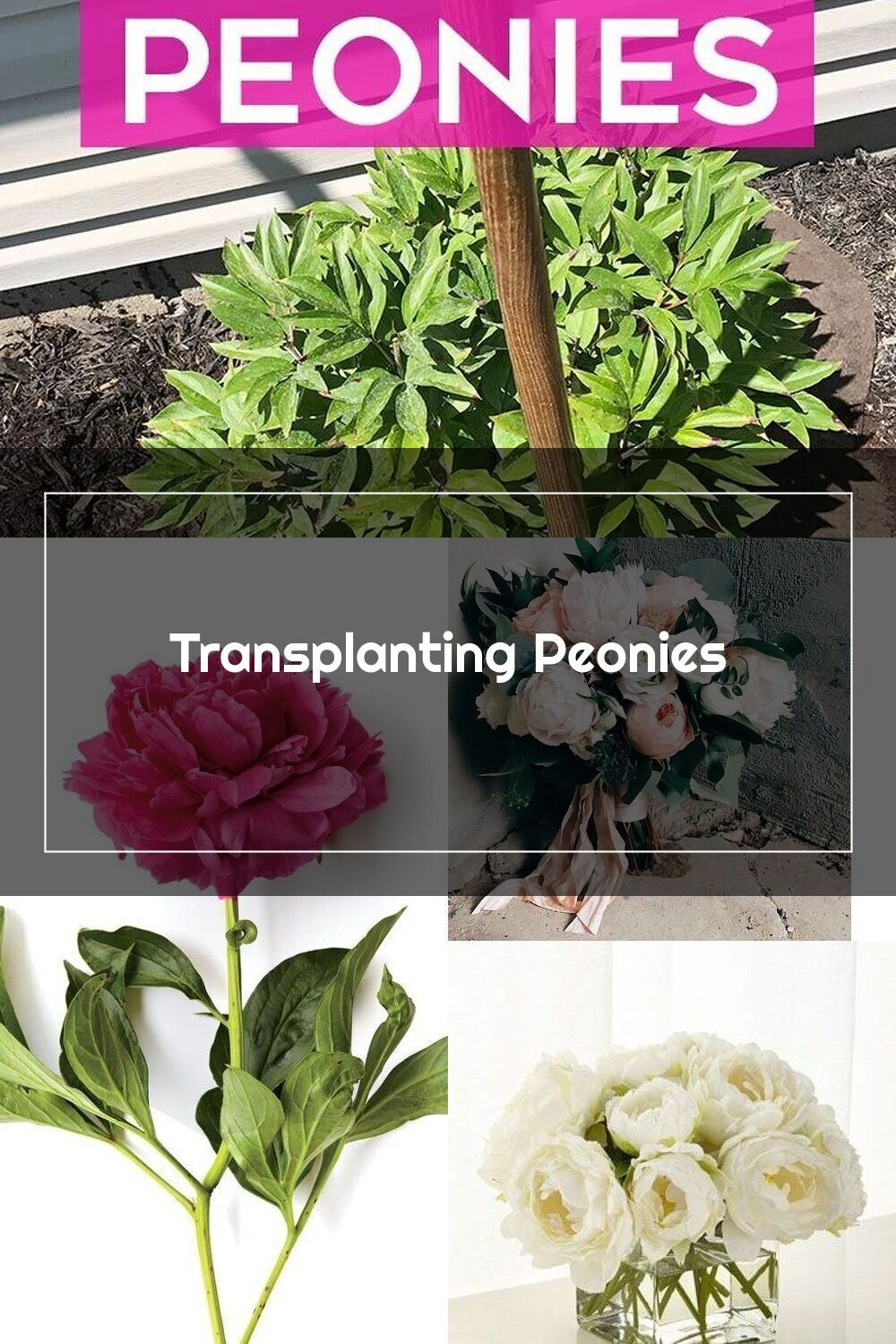Transplanting Peonies How To Transplant Peonies Peonies Peoniesgarden In 2020 Peonies Peonies Garden Plants