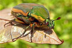 june bug on a string