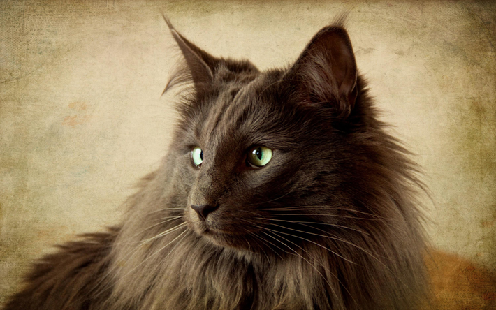 Download Wallpapers Nebelung Cat Fluffy Cat Pets Gray Cat Domestic Cats Nebelung Cats Fluffycatsbreeds Nebelung Cat Nebelung Cats